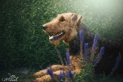Airedale Terrier Aika